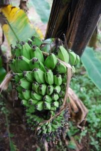Tandan buah pisang muncul dari batang